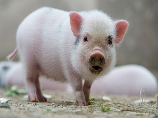 Ngủ mơ thấy con lợn là điềm báo hên hay xui ?