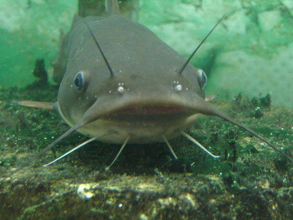 Mơ thấy cá trê đánh con gì? Giải mã giấc mơ thấy cá trê