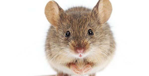 Giải mã giấc mơ thấy chuột mang đến điềm báo gì?