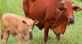 Mơ thấy Bò đánh con gì dễ trúng? Mơ thấy con bò có ý nghĩa gì?