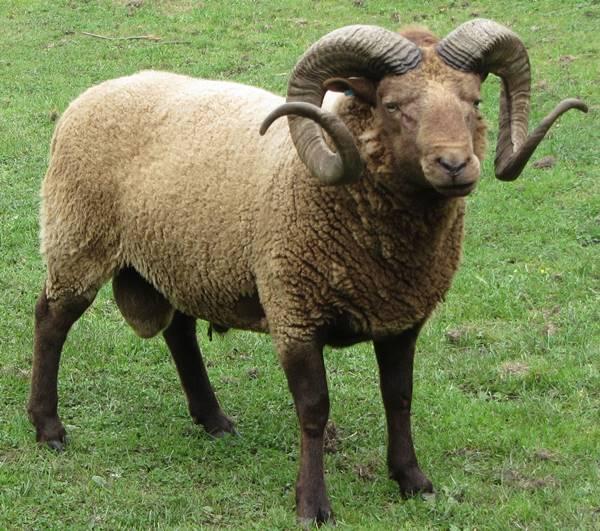 Nằm mơ thấy cừu đánh con gì? đánh số mấy