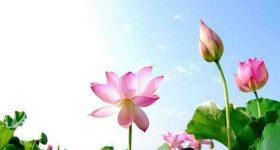 Mơ thấy hoa sen là điềm báo gì – Đánh con đề nào tài lộc?