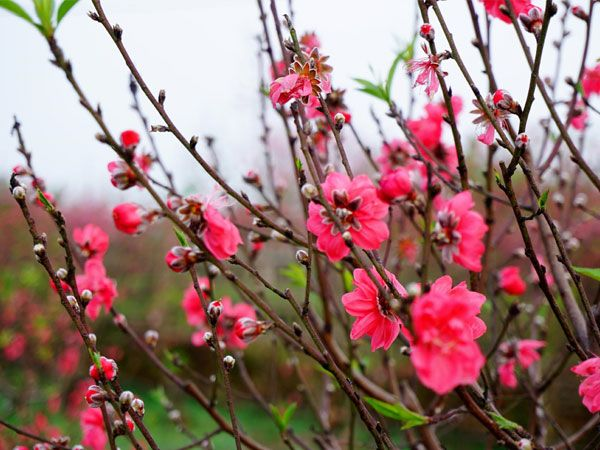 Giải mã giấc mơ thấy hoa đào và những con số lô đề may mắn