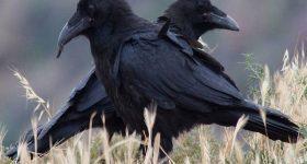 Mơ thấy quạ đen: Giải mã giấc mơ thấy quạ đen và những con số mơ may mắn