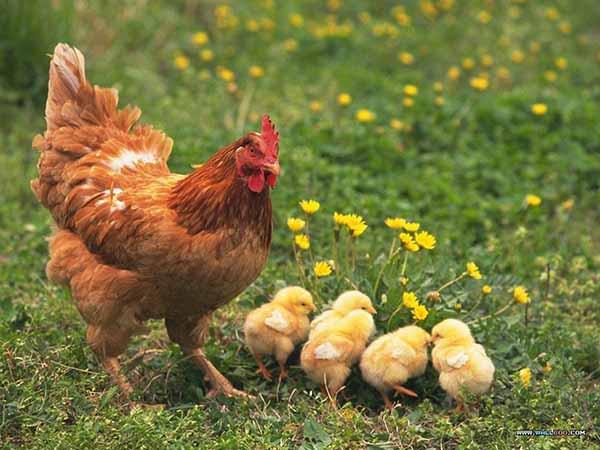 Ngủ mơ thấy gà đánh con gì ăn chắc, có điềm báo gì