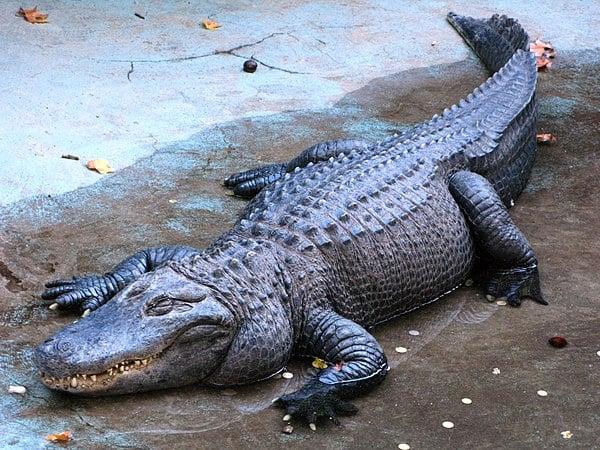 Mơ thấy cá sấu điềm báo lành hay dữ? Đánh con gì chính xác?