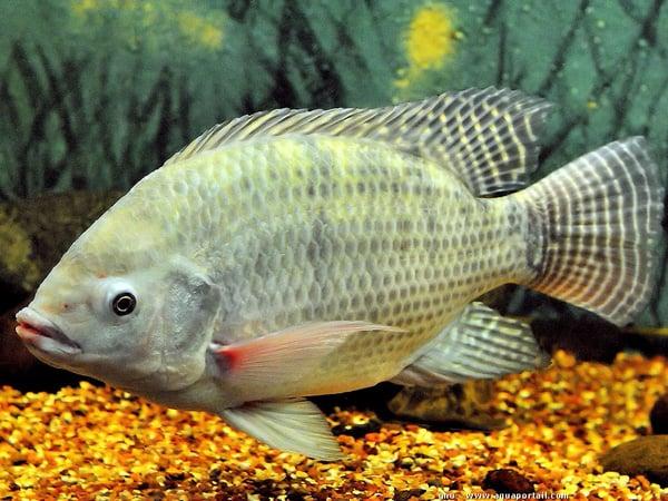Luận giải ý nghĩa giấc mơ thấy cá rô đánh con gì chính xác?