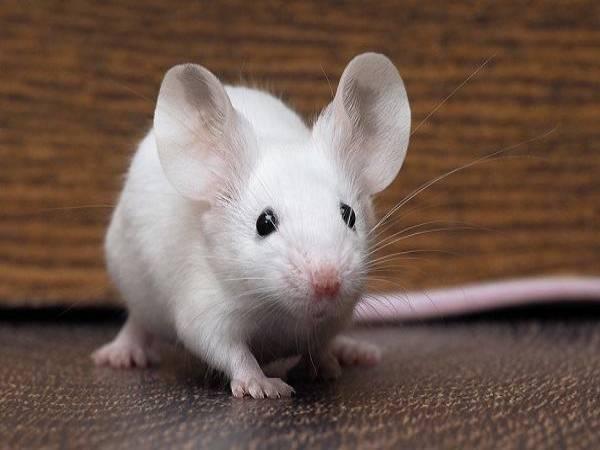 Ngủ mơ thấy chuột đánh số đề con gì ? Là điềm hên hay xui ?