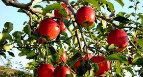 Phân tích ý nghĩa giấc mơ thấy quả táo đánh con gì?