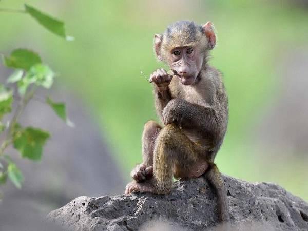 Ngủ mơ thấy khỉ là điềm lành hay dữ ? Đánh số mấy trúng ?