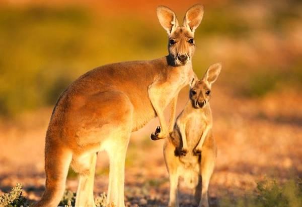 Giải mã giấc mơ thấy con kangkuru là điềm báo trước gì