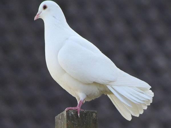 Ngủ mơ thấy chim bồ câu đánh số mấy ? Là điềm báo gì ?